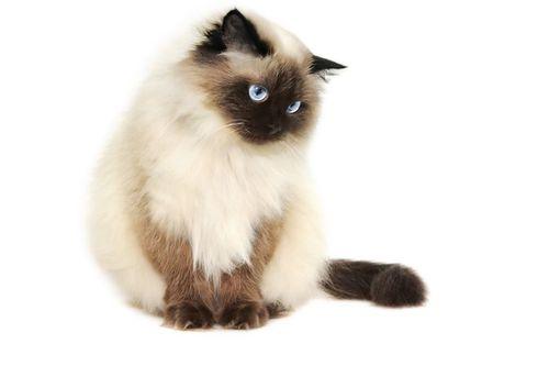 Persan Yeux Bleus
